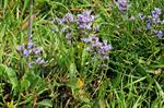 Common Sea-lavender (Limonium vulgare)